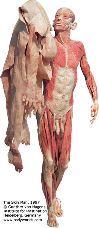 Used with Permission from Body Worlds