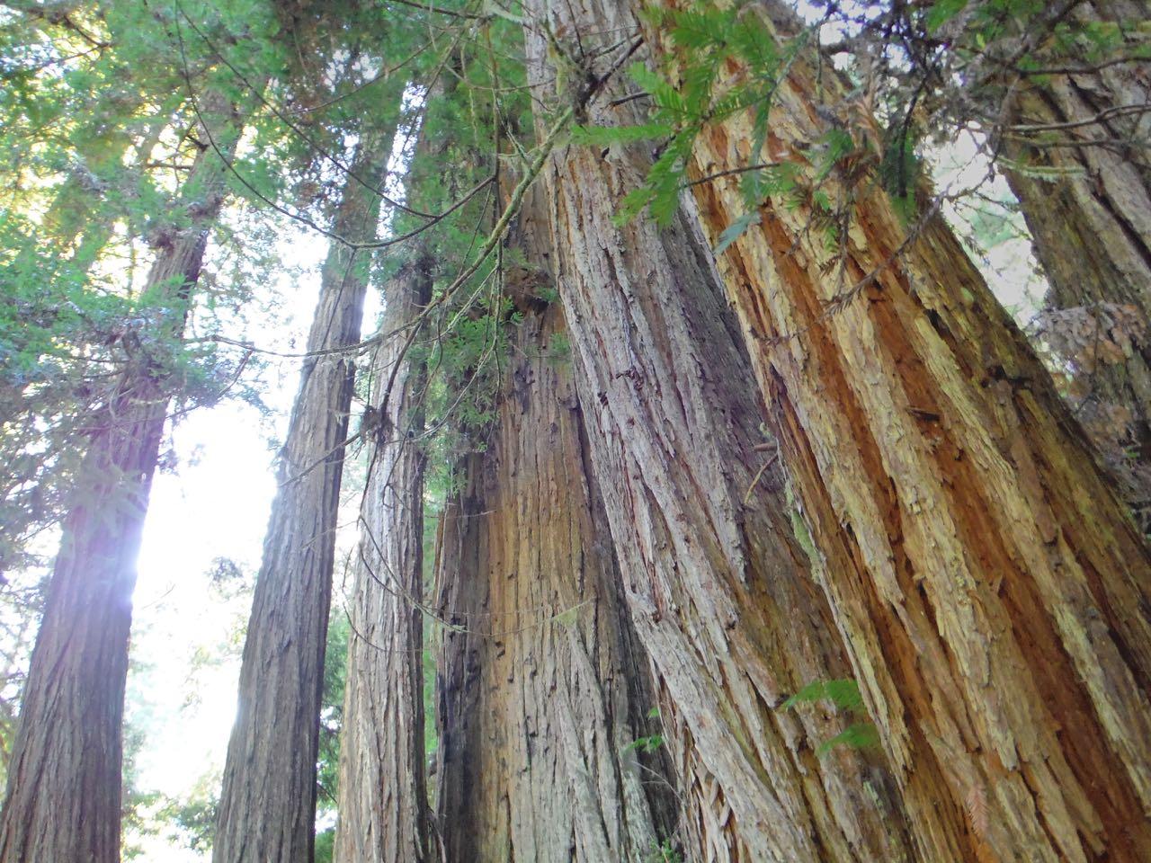 Redwoods 2017 10 01 233 Of 244