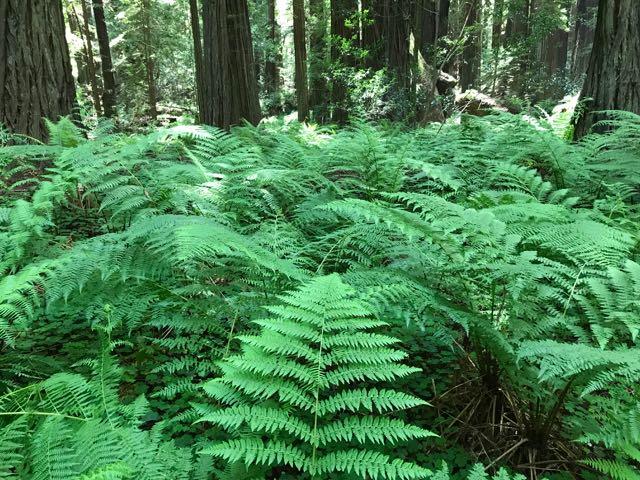 2018 05 20 Redwoods 55
