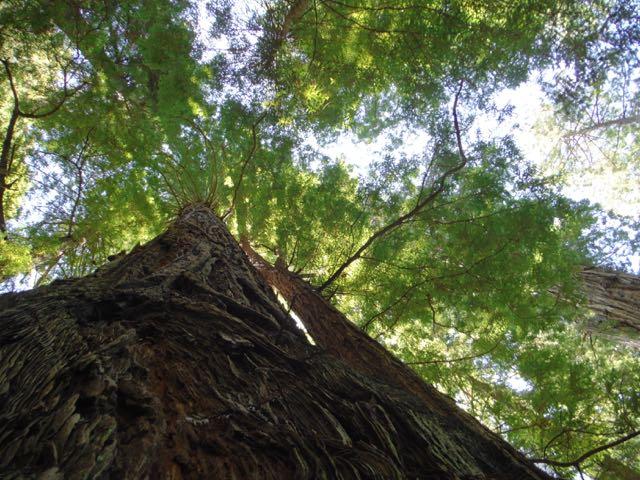 2018 06 14 Redwoods 281