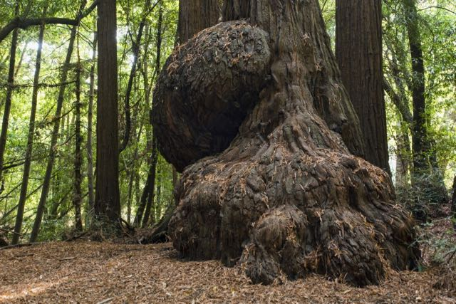 2018 06 14 Redwoods 64